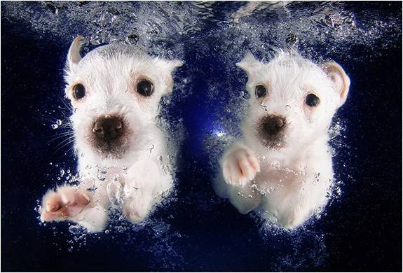 3820_1411591040_foto-filhotes-subaquaticos-seth-casteel-underwater-puppies-6.jpg - - Imagem - 6