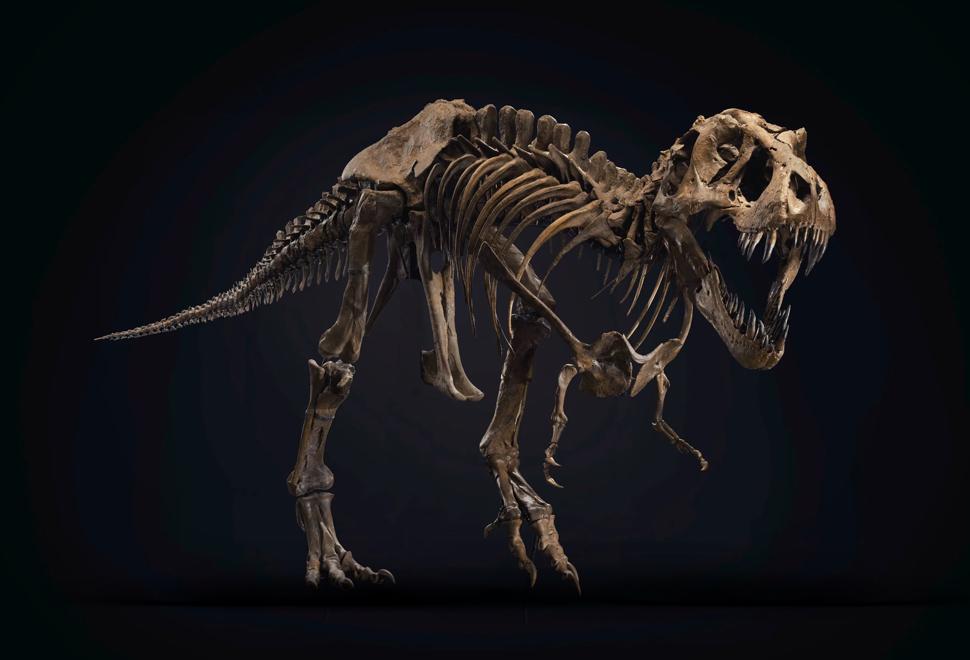 Esqueleto Stan T-Rex Skeleton - Imagem - 1