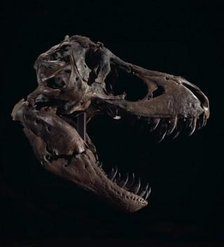 Esqueleto Stan T-Rex Skeleton - Imagem - 4